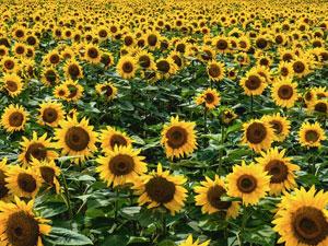 八戸の夏景色を楽しもう♪ひまわり畑♪