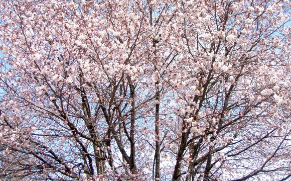 桜の名所で楽しむ【はちのへ公園春まつり】